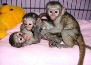 Акробатический ребенка капуцин обезьян для принятия