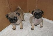 милые щенки мопса доступны в новом доме
