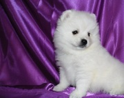Очень красивые щенки померанского шпица